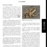 Bembix rostrata (L.) (Hymenoptera, Crabronidae) de retour en Wallonie (Belgique)