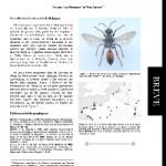 Découverte de Sphex funerarius (Gussakovskij) (Hymenoptera, Sphecidae) en Gaume (Belgique)