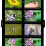 Relation hôte-parasite chez les abeilles sauvages
