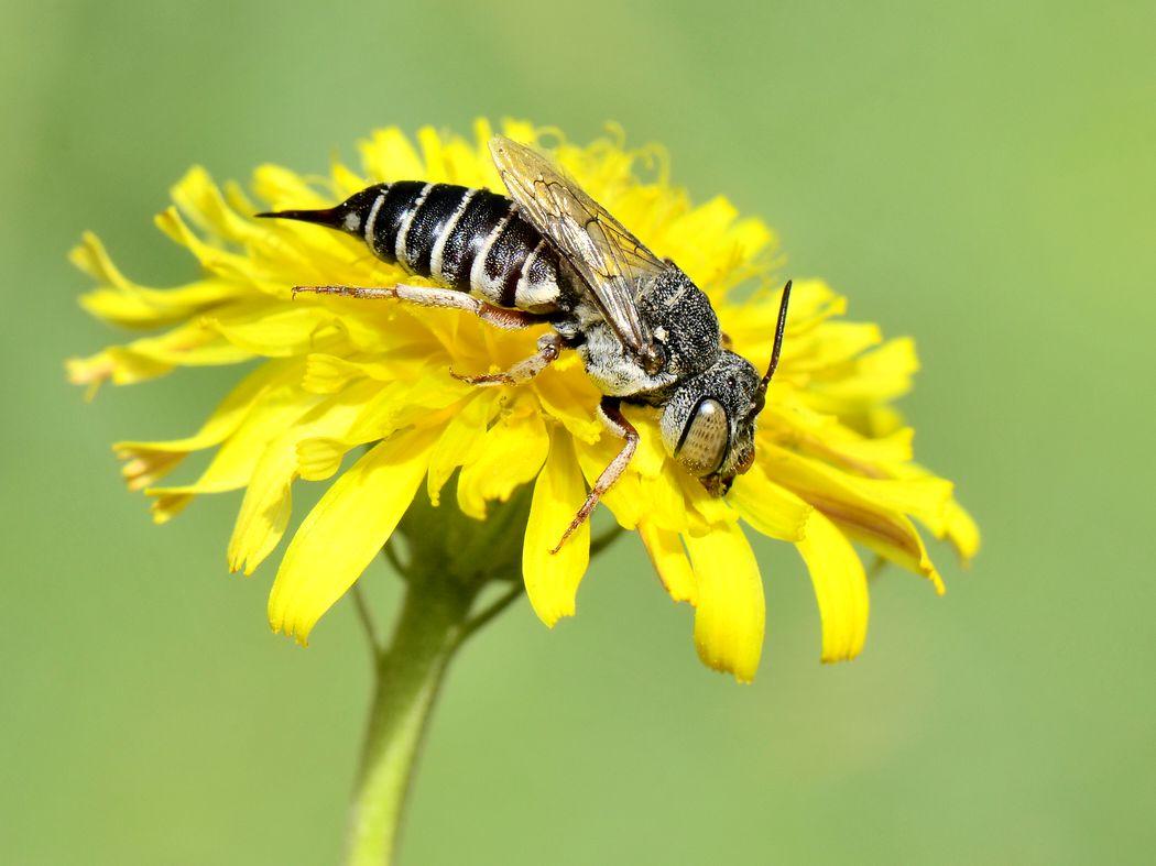 Coelioxys acanthura femelle