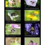 Oligolectisme chez les abeilles sauvages